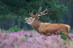 Red deer during mating season Stock Photo