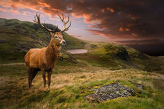 Red deer stag in dramatic mountain landscape Stock Images