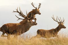 Red deers on the run Stock Photography