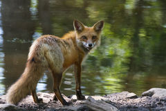 Red fox on shore staring back Royalty Free Stock Photo