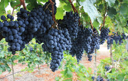 Red grapes. Royalty Free Stock Photos