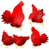 Red hens and roosters Royalty Free Stock Photos