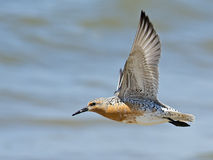 Red Knot in Flight Royalty Free Stock Images