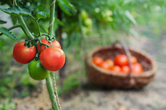 Red organic tomato plant and fruit Royalty Free Stock Photos