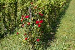 Red rose bush Royalty Free Stock Photo