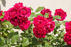 Red roses bush Stock Photography