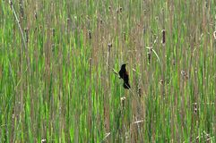 Red-winged Blackbird Royalty Free Stock Images