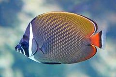Redtailbutterflyfish (Chaetodon collare) Royaltyfria Foton