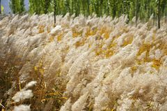 Reed in autumn Royalty Free Stock Image