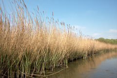 River Reed Bed Norfolk Broads England Royalty Free Stock Photos