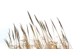 Reed grass Stock Image