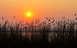 Reed sunset Royalty Free Stock Photography