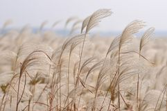 Reed in the wind Stock Images