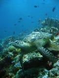Reef turtle underwater sipadan borneo Stock Image
