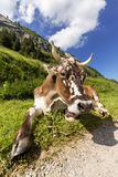Relaxed cow Stock Images
