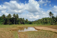 Rice fields with jungle Royalty Free Stock Images