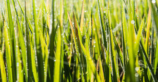 Rice spike in rice field Royalty Free Stock Images
