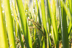 Rice spike in rice field Royalty Free Stock Photos