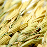 The Rice Spike. Royalty Free Stock Image