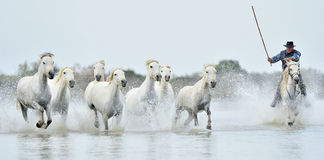 Riders and Herd of White Camargue horses running through water Royalty Free Stock Photo