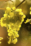 Ripe grapes in sunlight Royalty Free Stock Photography