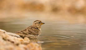 Rock Sparrow Royalty Free Stock Photos