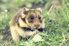 Romanian hamster Royalty Free Stock Photography