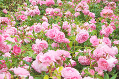 Rose bush Stock Photos