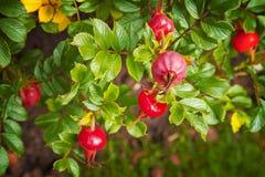 Rose hip bush Stock Image