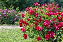Roses bush on garden Stock Photography