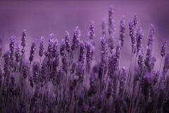 Row of lavender Stock Images