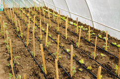 Rows of tomato and salad plants Stock Photo