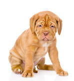 Sad Bordeaux puppy dog sitting in front. isolated Stock Photo
