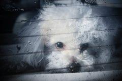 Sad dog locked inside car Stock Images