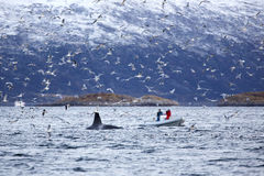 Safari de baleine sur le bateau de nervure dans l'environnement arctique Images libres de droits