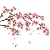 Sakura blossom - Japanese cherry tree isolated Stock Images