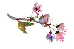 Sakura branch, cherry blossom with pink flowers. Stock Photography