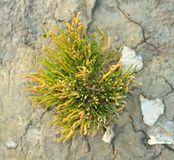 Salicornia on dried Clay Royalty Free Stock Image