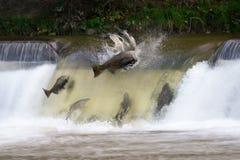 Salmon run Stock Images