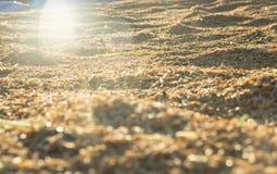 Schöner ungeschälter Reis im Sonnenuntergang Stockbild