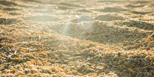 Schöner ungeschälter Reis im Sonnenuntergang Stockbilder