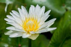 Schönes Wasser lilly Lizenzfreies Stockbild
