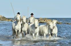 Schimmel von Camargue laufend durch Wasser Stockbilder
