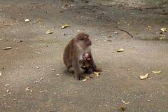 Scimmia della Tailandia Asia Fotografia Stock Libera da Diritti
