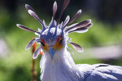 Secretary Bird Stock Photography