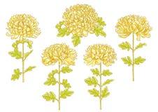 Set of 5 chrysanthemum flower Royalty Free Stock Photography