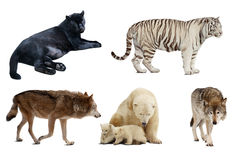 Set of Carnivora mammal. Isolated over white Royalty Free Stock Photo