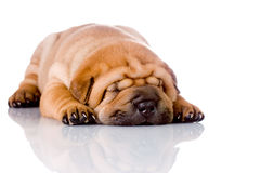 Shar Pei baby dog sleeping Stock Photo
