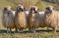 Sheeps looking one way Stock Photos
