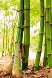 Shoot of Bamboo Royalty Free Stock Photo